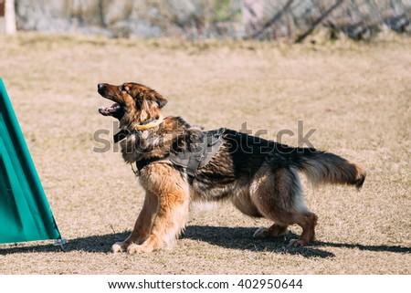 Furious German shepherd dog training. Biting dog. Alsatian Wolf Dog. Deutscher, dog - stock photo