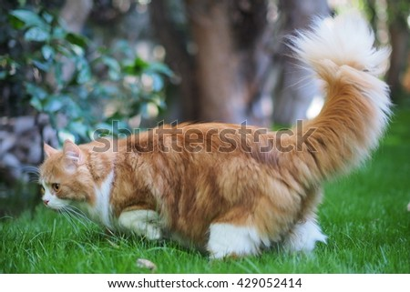 Furry Bi Color Orange Long Haired Doll Face Traditional Persian Cat Walking through Green Grass with Fluffy Tail Up - stock photo
