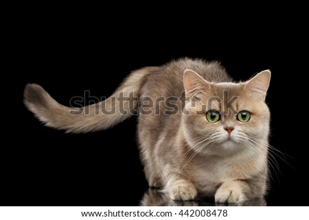 Furry British Cat Gold Chinchilla color with Green eyes Lying and Raising Tail, Isolated Black Background, Front view - stock photo