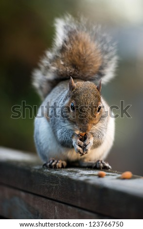 Furry Cute Squirrel Eating Nuts on Deck Railing - stock photo