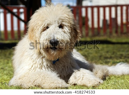 Furry goldenddodle dog in the yard