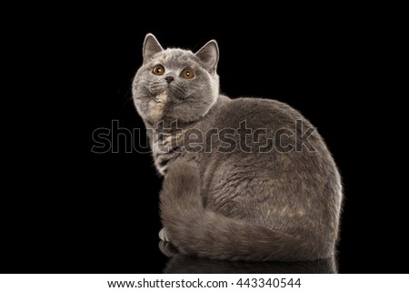 Furry Gray British Cat Sitting and Cute Looking up, Isolated Black Background, Back view - stock photo