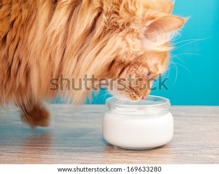 furry red cat drinking milk on a background of blue wall - stock photo