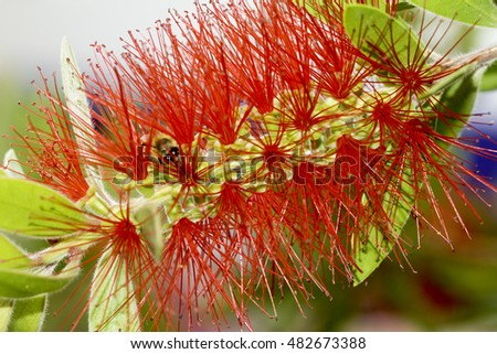 furry red flower from Thassos island