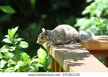 Furry squirrel looking at green leaves in the sunlight. - stock photo