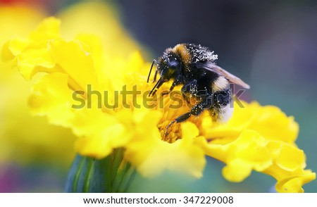 furry striped bee collects nectar from a yellow flower - stock photo