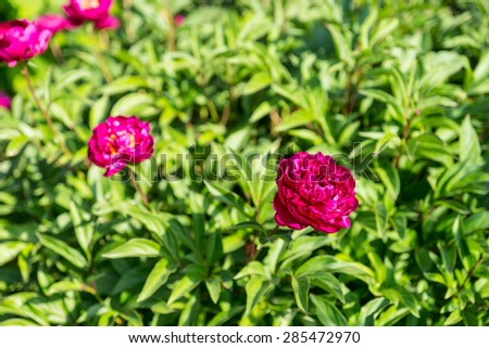 Fuschia Colored Flowers in Bloom on Lush Green Shrub in Bright Sunlight - stock photo
