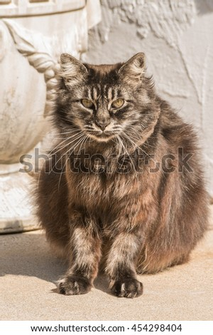 fuzzy old black Siberian cat sitting outdoor and looking straight