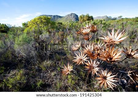Fynbos vegetation at Cape Town - stock photo