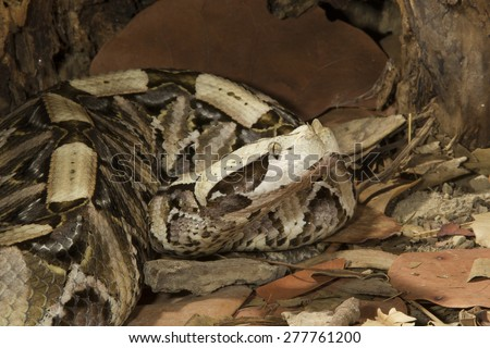 Gabon Viper in Africa - stock photo