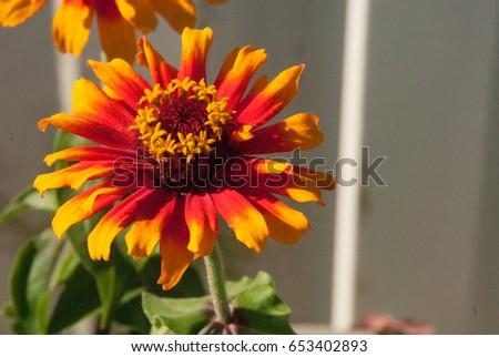 Gaillardia, Blanket Flower