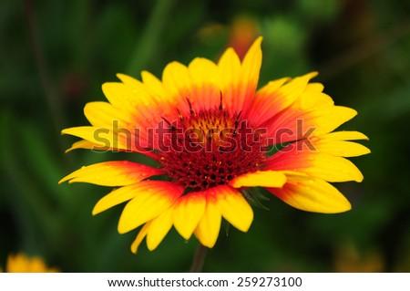Gaillardia (Blanket Flower) in bloom - stock photo