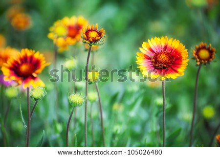 Gaillardia flower with red and yellow petals on blurred green background