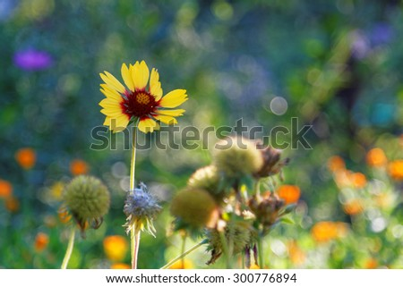 Gaillardia - yellow and red flower on a blurred background summer garden - stock photo
