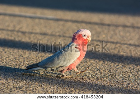 Galah or Rose-breasted Cockatoo,  roseate cockatoo or pink and grey bird in west auatralia - stock photo