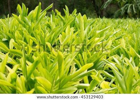 Galangal herb plants in garden Natural green space Can be used as wallpaper.