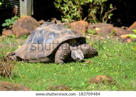 Galapagos Giant Tortoise (Chelonoidis nigra) - stock photo