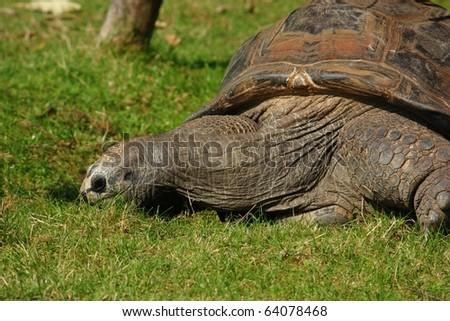 Galapagos giant tortoise (Geochelone nigra) - stock photo
