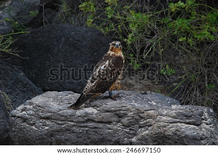 Galapagos Hawk perched on a volcanic rock on the shore of Santa Fe Island in the Galapagos, Ecuador.  This particular hawk has been tagged. - stock photo