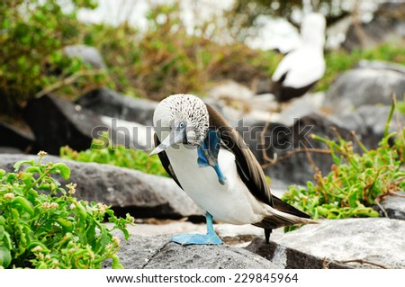 galapagos island blue footed boobie - stock photo