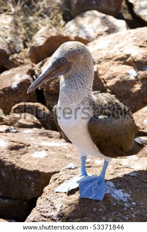Galapagos Island Blue Footed Booby - stock photo