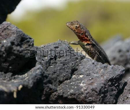 Galapagos Lava Lizard (Tropidurus albemarlensis) on the volcanic lava rocks