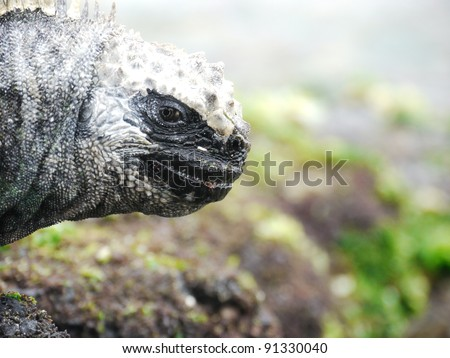 Galapagos Marine Iguana (Amblyrhynchus cristatus) face close up
