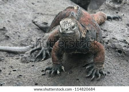 Galapagos marine iguana (Amblyrhynchus cristatus) poses on black stiffened lava - stock photo