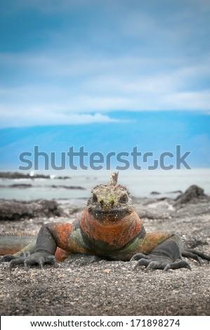 Galapagos marine iguana face on - stock photo