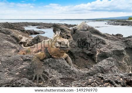 Galapagos marine iguana resting on volcanic beach head. - stock photo