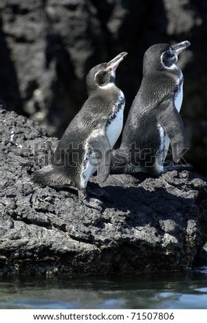 Galapagos Penguin - stock photo