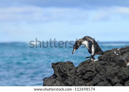 Galapagos penguin having fun walking on the rocks - stock photo
