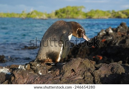 Galapagos Penguin hunched over on volcanic rock in Elizabeth Bay on Punta Moreno Island in the Galapagos Island Chain. - stock photo