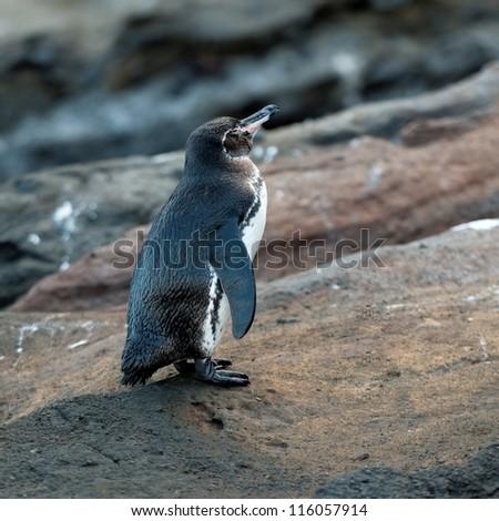 Galapagos penguin (Spheniscus mendiculus), Tagus Cove, Isabela Island, Galapagos Islands, Ecuador - stock photo