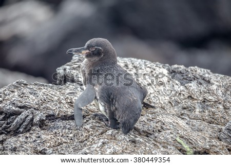 Galapagos Penguins(Spheniscus mendiculus) standing on a rock , Isabela  - stock photo
