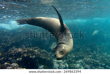 Galapagos Sea lion - stock photo