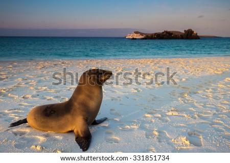 Galapagos Sea Lion - stock photo