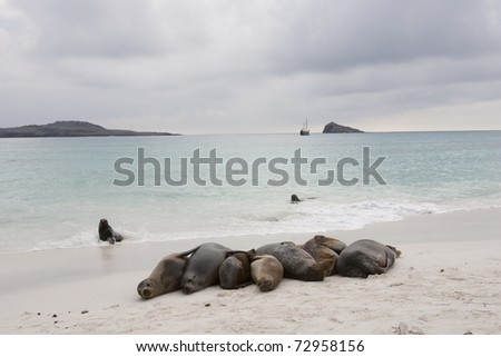 Galapagos Sea Lion (Zalophus californianus wollebacki), group together on a beach on Espanola Island, Galapagos with a sailboat in the background.