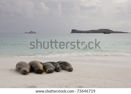 Galapagos Sea Lion (Zalophus californianus wollebacki), group together on a beach on Espanola Island, Galapagos.