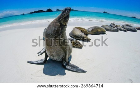 Galapagos Sealion - stock photo