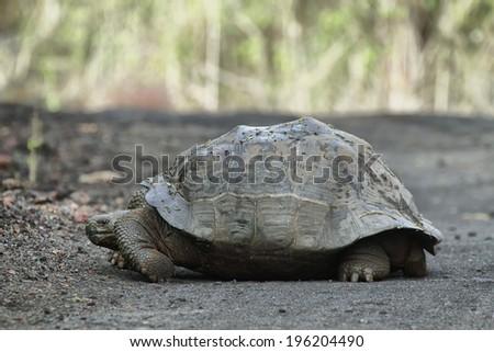 Galapagos Tortoises in Isabela island, Ecuador - stock photo