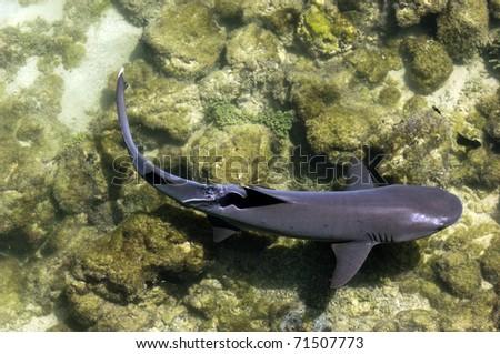 Galapagos White Tip Shark - stock photo