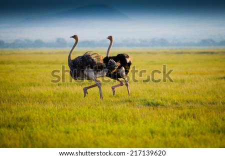 Gallop of african ostriches - stock photo