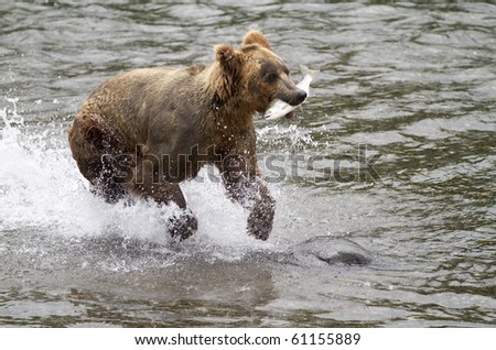 Galloping Gourmet - A male grizzly bear has successfully caught a salmon and racing from the scene to avoid sharing his feast. - stock photo
