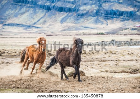 Galloping horse Iceland - stock photo