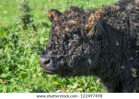 galloway cattle - stock photo