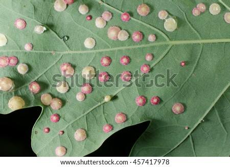 galls, oak leaf - stock photo