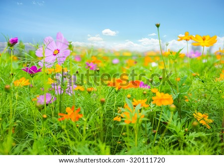 galsang flowers are in full blossom on prairie during the summer - stock photo