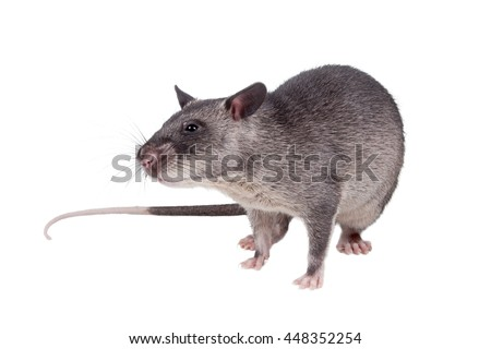 Gambian pouched rat cub, Cricetomys gambianus, isolated on white background - stock photo