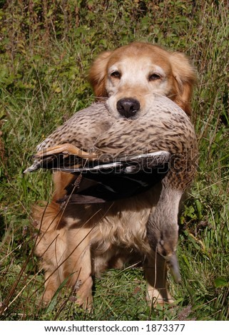 Game shoot - retriever with duck